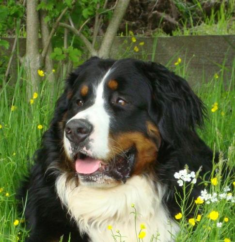 suche berner sennenhund welpen österreich